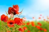 mohnblumen, sommerwiese, sommer hintergrund