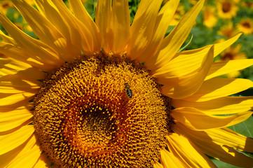 sun flower closeup on a beautiful sunny day