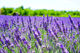 Field of lavender on a beautiful sunny day