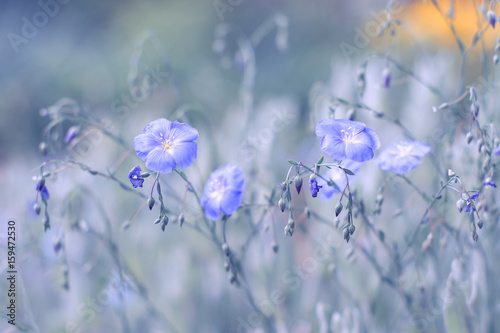 Field blue flowers of flax, the background is painted in a purple hue. Selective soft focus. - 159472530