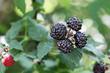 Rubus Occidentali Black Raspberry