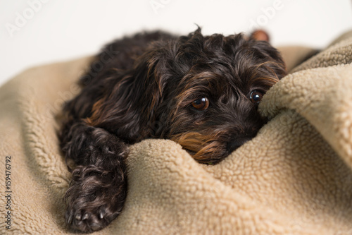 Small Black Shih Tzu Mix Breed Dog Canine Lying Down On