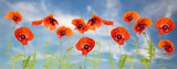 Panorama made of flowering red poppies against the blue sky.