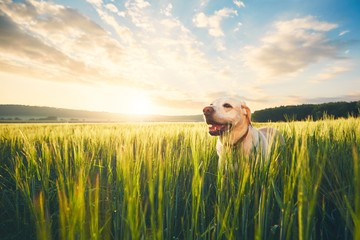 Dog on the field at the sunrise