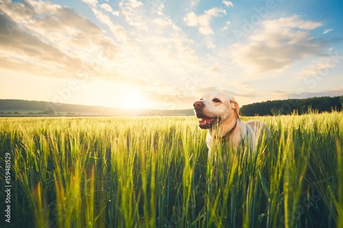 Dog on the field at the sunrise Poster