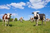 Vache Montbéliarde et paysage de campagne