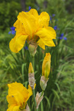 beautiful yellow iris blooming in the garden
