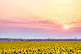Sunset over a rural plain with blossoming field of sunflowers. Sun rays over the low clouds.
