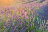 Coucher de soleil sur le champ de lavande. Des fleurs roses sauvages melangées avec la lavande.
