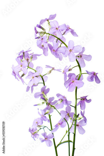 Branch of blooming Hesperes (Night violet) on a clean white background close-up..