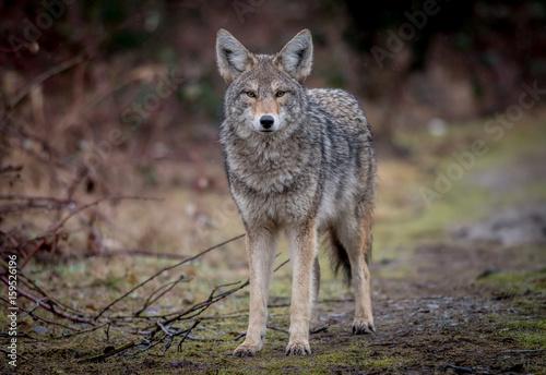 Aluminium Wolf Coyote