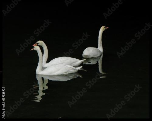 Fotobehang swan