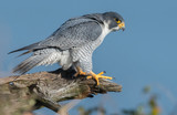 Peregrine Falcon - 159533192