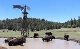 Bison under windmill in Utah