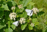 Two butterflies on the flowers of spiraea. Blooming spirea and two white butterflies on a blurred green background.