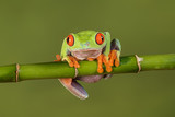 A close up portrait of a red eyed tree frog hanging on to a bamboo shoot looking forward and about to fall