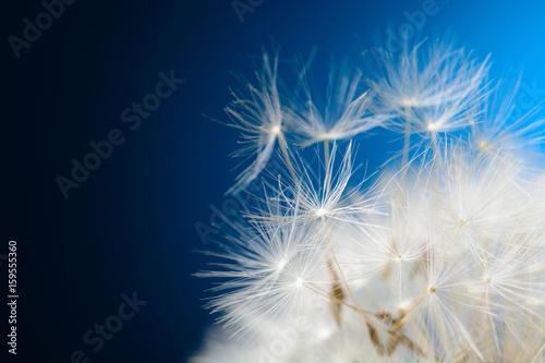 Aluminium Paardebloemen Dandelion seeds fly away