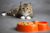 Portrait of a domestic cat looking at the bowl with meal