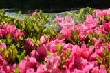ツツジの花に広がるクモの巣と水滴
