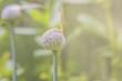 Allium flower buds