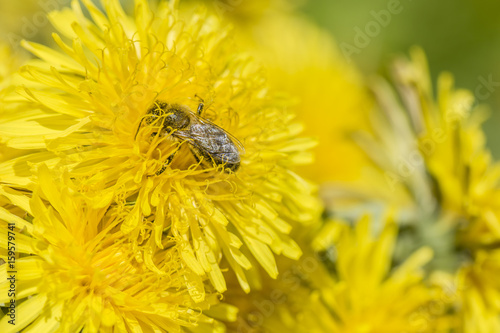 Honey bee (Apis mellifera) collecting nectar of yellow flowers of dandelion (taraxacum officinale). Macro.