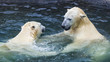 Polar bears play in the water. The polar bear is one of the largest terrestrial carnivorous mammals.
