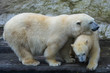 The polar bear is one of the largest terrestrial carnivorous mammals.