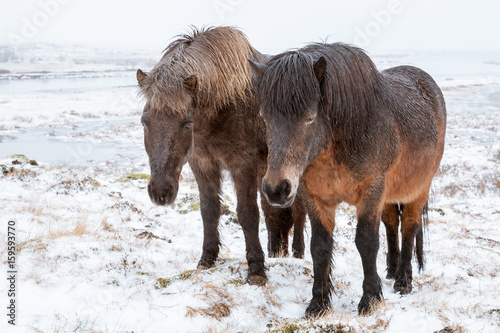 Two Icelandic horses are on winter meadow Poster