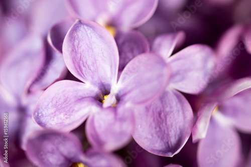 Beautiful little flowers of lilac. macro