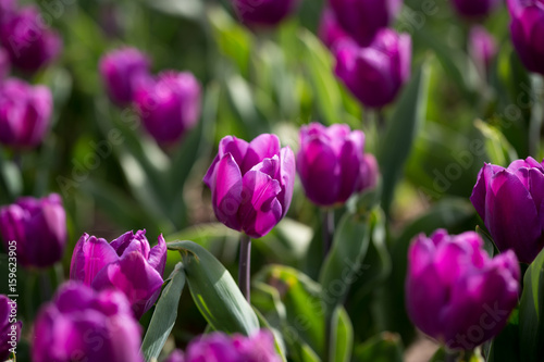 Beautiful purple tulips in nature