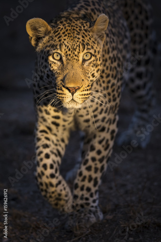 Portrait of leopard walking in the darkness hunting