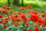 field of red tulips. Selective focus