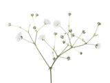 Gypsophila isolated on white background. - 159638703
