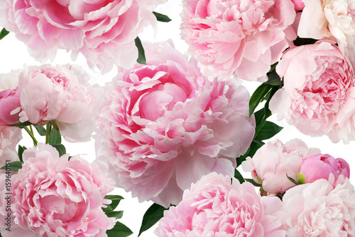 Peony pink flowers on white background. Floral pattern - 159640151