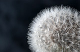 Closeup of dandelion seeds