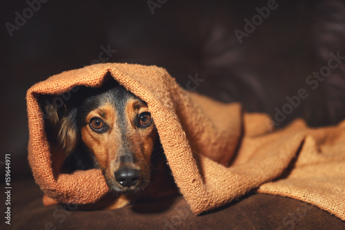 Fototapeta Small black and brown dog hiding under orange blanket on couch looking scared worried alert frightened afraid wide-eyed uncertain anxious uneasy distressed nervous tense