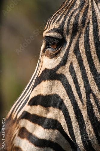 Fotobehang Ree Zebra