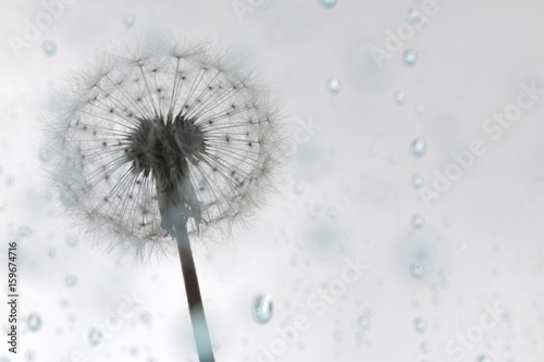 dandelion puff on blue rain - 159674716