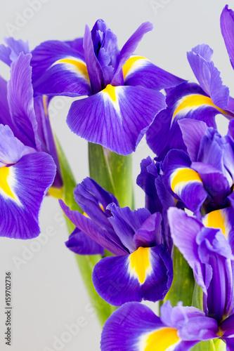 Fotobehang Iris Purple iris flower on the yellow background.