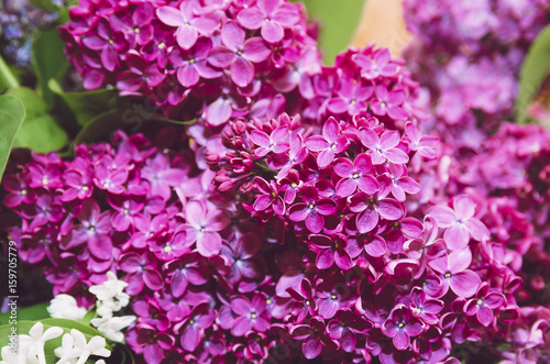 Beautiful large flowers of lilac in droplets of water, Colorful background. Closeup, selective focus.