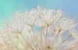 Dandelion seeds - fluffy blowball
