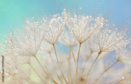 Dandelion seeds - fluffy blowball - 159714347