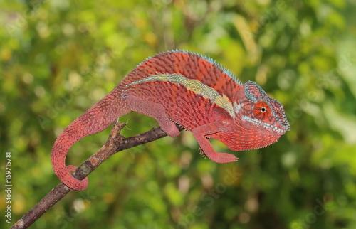 Fototapeta Furcifer pardalis