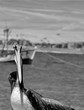 pelicans on beach