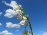 Lilies of the valley in the sky.