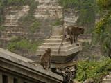 Macaque monkeys walking on a stone wall on Bali