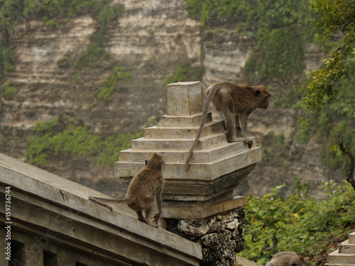 Macaque monkeys walking on a stone wall on Bali
