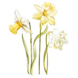 Illustration in watercolor of a Narcissus flower blossom. Floral card with flowers. Botanical illustration.