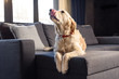 Cute golden retriever dog lying on sofa indoors