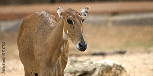 Portrait shot of a barking deer